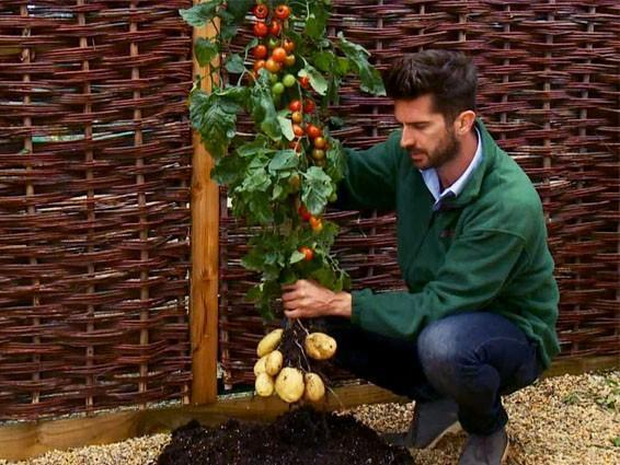 TomTato: растение, которое приносит как картофель, так и помидоры