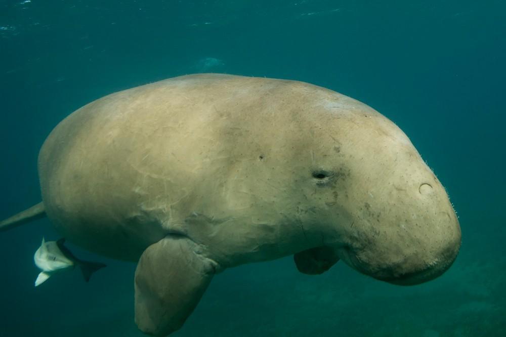 Дюгонь - морская корова океанов. Факты, описание, фото