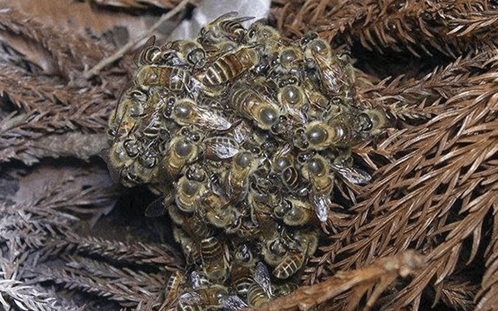 """""""Объятия смерти"""" для пчелиной королевы"""