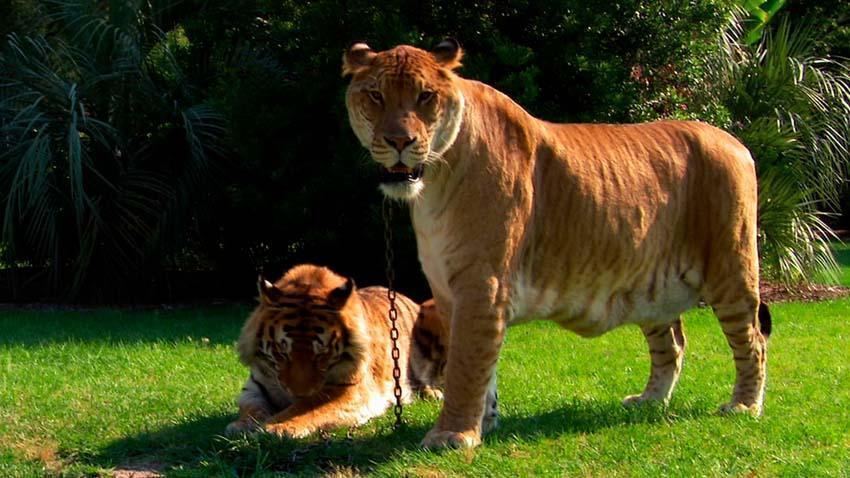 Кто такие лигры и тигоны
