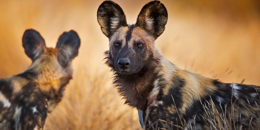 Животные пустыни Сахара