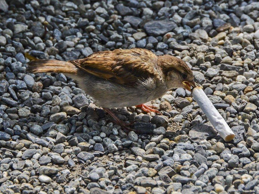 Зачем птицы приносят окурки в гнезда?