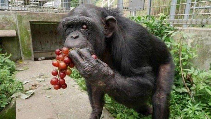 Второй раз в истории обнаружен Синдром Дауна у шимпанзе