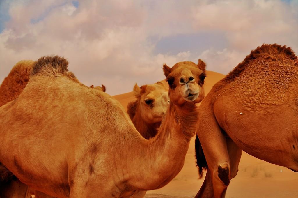 Что верблюды хранят в горбах?