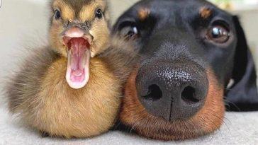 Утенок и пес. Фото на память