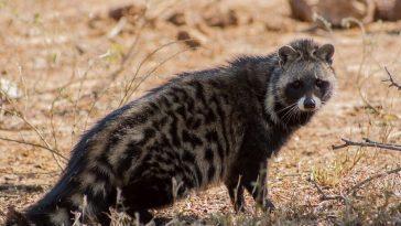 Африканская цивета - что это за зверь?