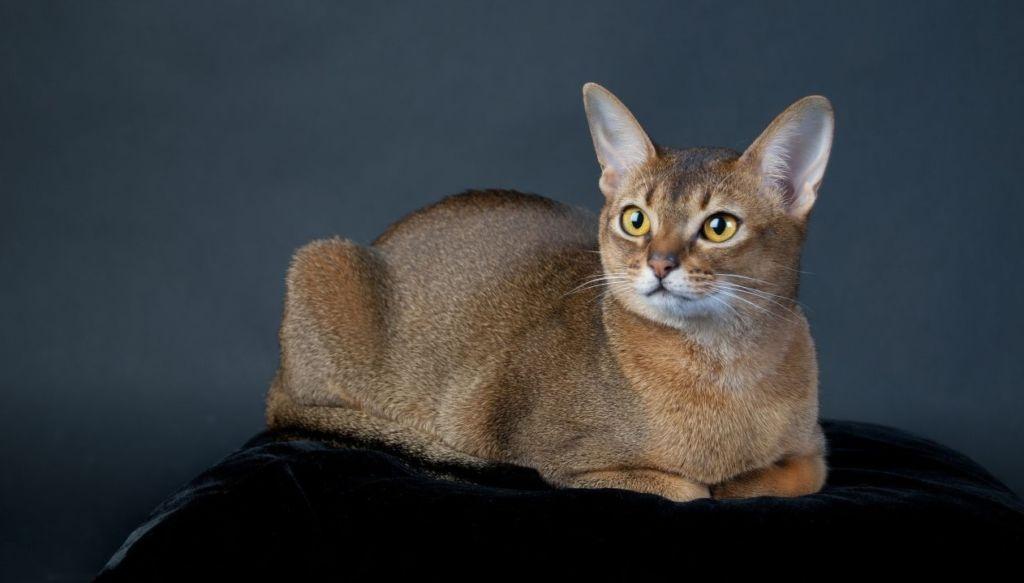 Абиссинская кошка - древнейшая порода мира