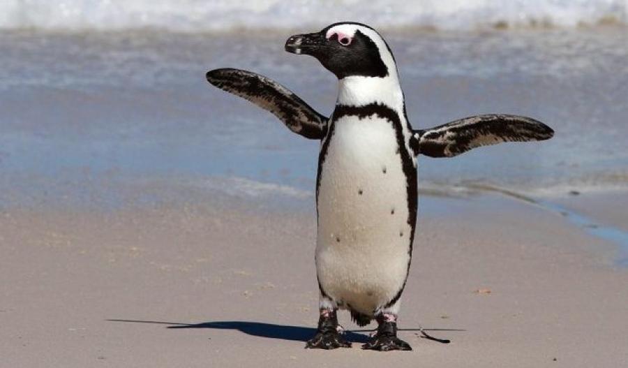 Очковый пингвин. Почему он может жить в Африке?