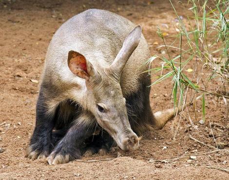 Трубкозуб - африканский земляной поросёнок