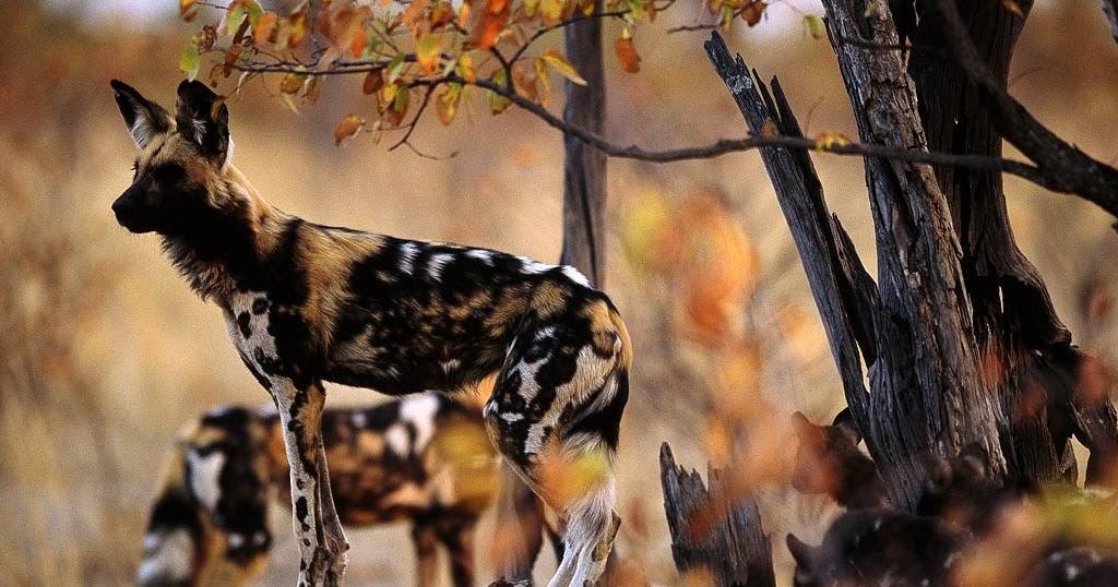 Африканская гиеновидная собака