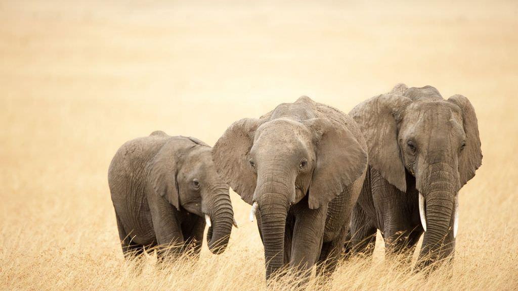 Африканский саванный слон. Описание