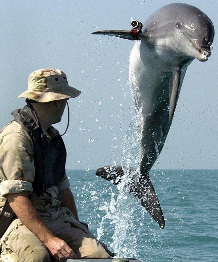 Боевые дельфины служат в нескольких армиях мира