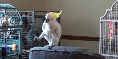 Этот популярный попугай-танцор выучил уже 14 движение. А ты записался на танцы?