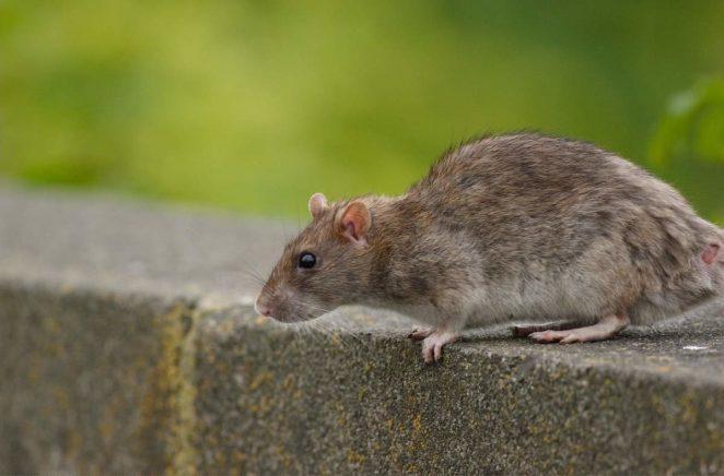 Может ли размер крысы достичь размера овцы?
