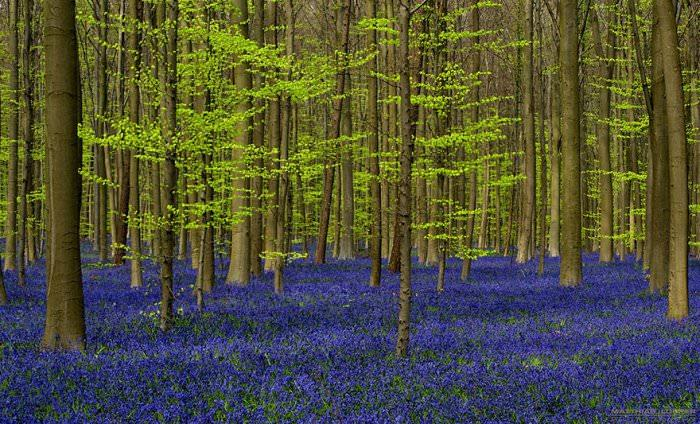 Невероятный синий лес Халлербос в Бельгии