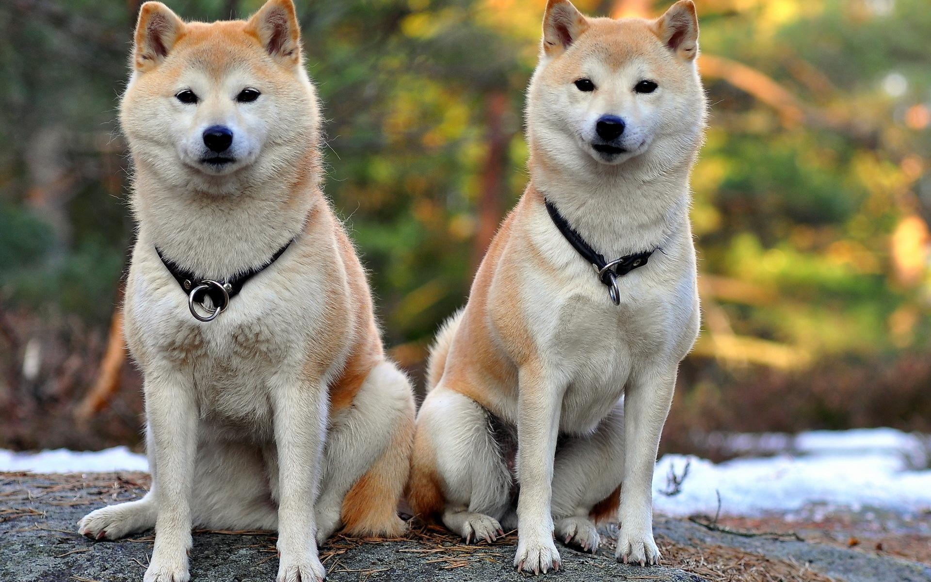 Хоккайдо, айну, сета - три имени одной породы