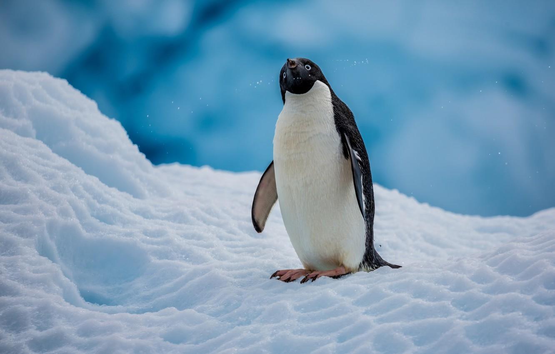 Пингвин Адели. Интересные факты