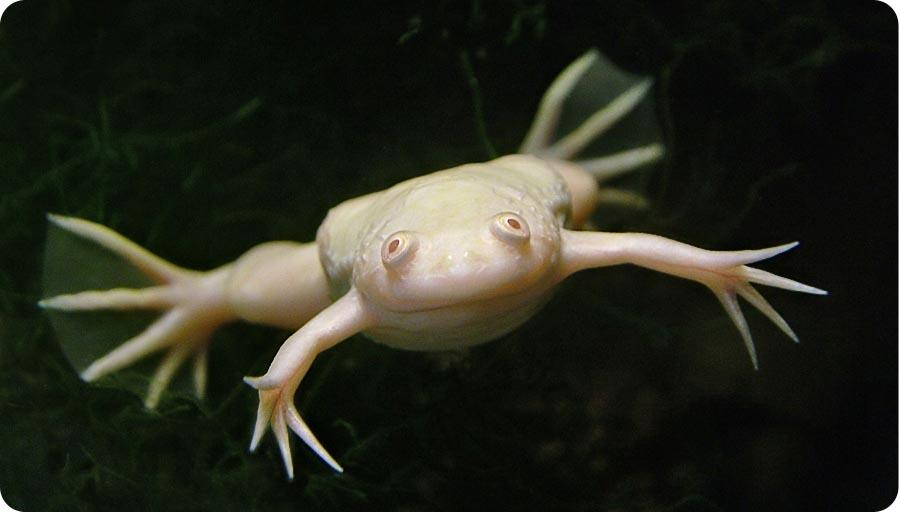 Африканская когтистая лягушка