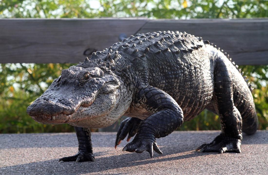 Аллигатор - потомок динозавров. Описание