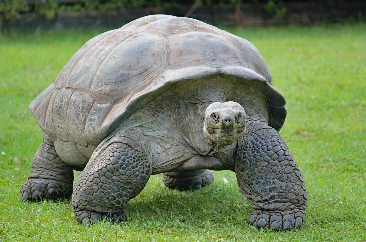 Гигантская черепаха Альдабра