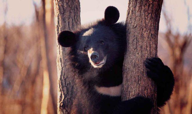 Где обитает гималайский медведь?