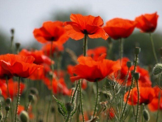 Почему цветы мака открываются утром и закрываются ночью?