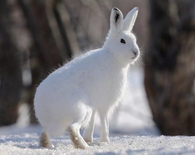 Арктический заяц-беляк. Описание