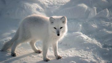 Песец. От чего зависит цвет меха белого арктического лиса?