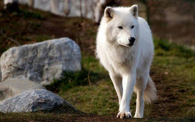 Белый полярный волк. Фото