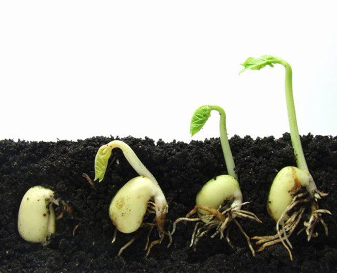 Откуда семена узнают, что нужно расти вверх?