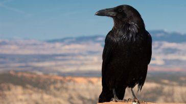 Вороны помнят угрожающие лица