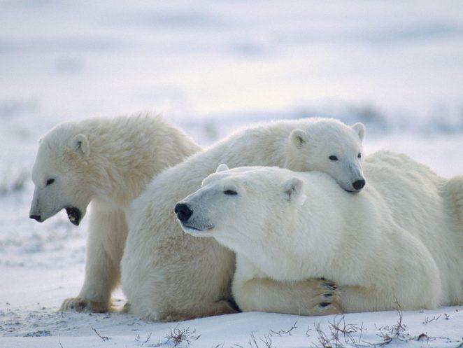 Как белые медведи живут и сохраняют тепло?
