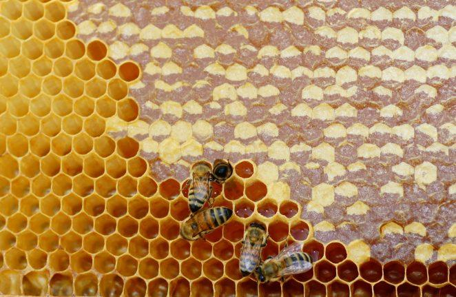 Как пение влияет на производство меда пчелами