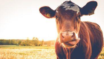 "Почему у коровы ""лепешка""?"