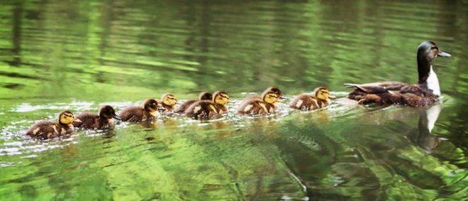 Какие млекопитающие рожают больше всего детенышей за раз