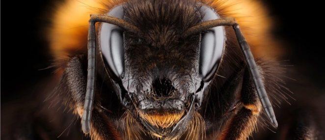 Пчелиная королева может ужалить?