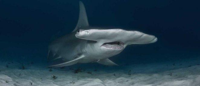 Почему акула-молот получила такую голову