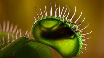 Какое самое большое животное съедала Венерина мухоловка?