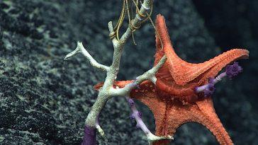 Морская звезда и её выворачивающийся желудок