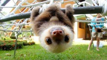 Ленивцы настолько ленивы, что им даже лень говорить
