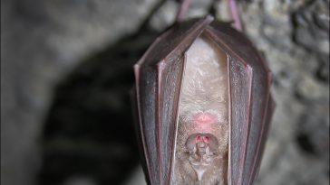Почему летучие мыши живут в пещерах?