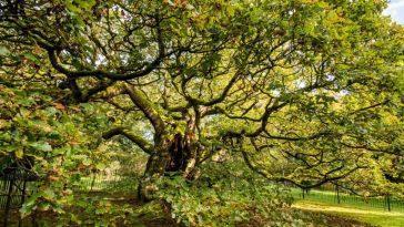 Дерево, которому 1000 лет, растет в Ливерпуле. Многие люди никогда не слышали о нем