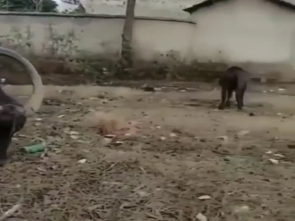 Корова с одним рогом