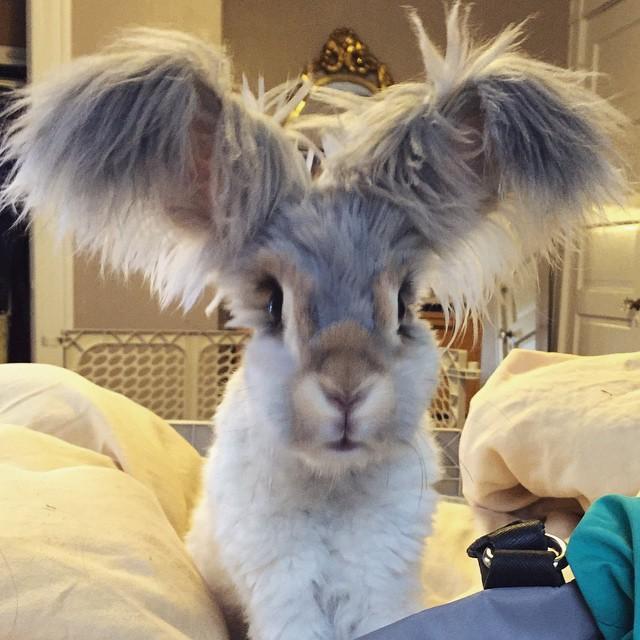 Уолли, кролик с самыми большими ушами