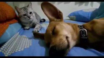 Собака пукает во сне. Смешная реакция кошки.