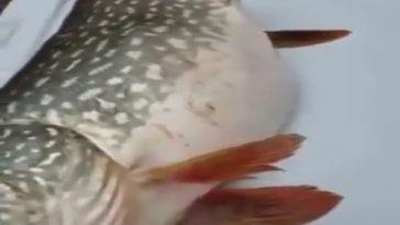 Рыба-матрешка
