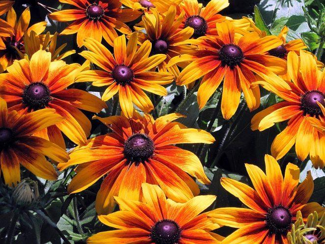 Многолетние растения на участке, цветущие все лето
