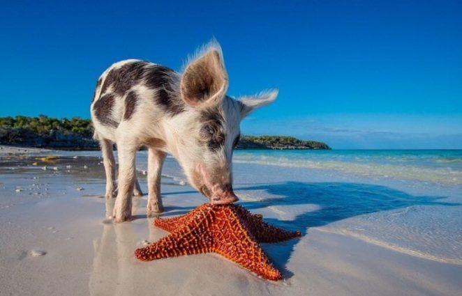Пиг-Бич - Остров Свиней на Багамах