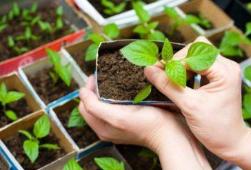 Как выращивать пряные травы в горшках