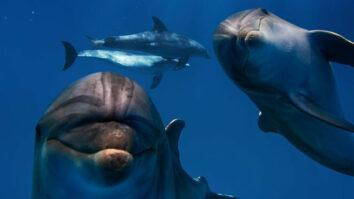 Ученые выяснили, что дельфины образуют «бойз-бэнды», чтобы соблазнять самок своими выступлениями.